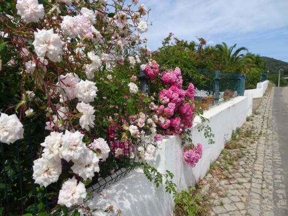 A lovely wall of roses overflowing from a garden.