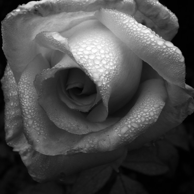 Rose and Dew