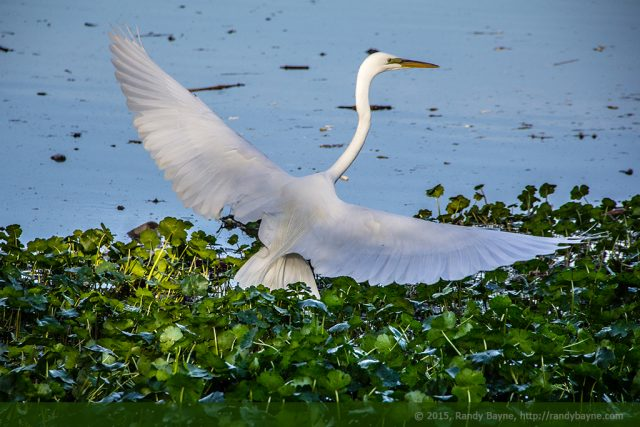 Egret at a decisive moment