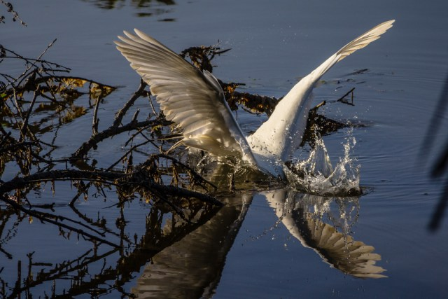 Egret diving for a fish.
