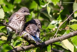Bluebird fledglings
