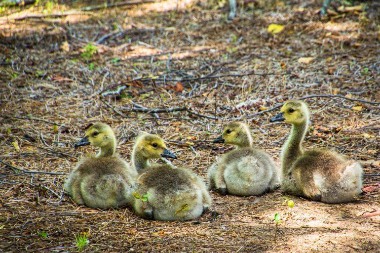 Goslings resting on the ground