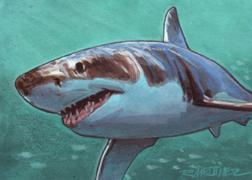 Shark-Great White