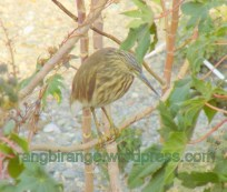 Indian Pond Heron that Changes Colour of its Feet