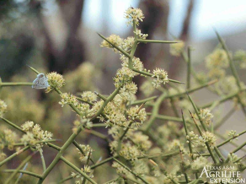 Plants Of Texas Rangelands 187 Allthorn Crown Of Thorns