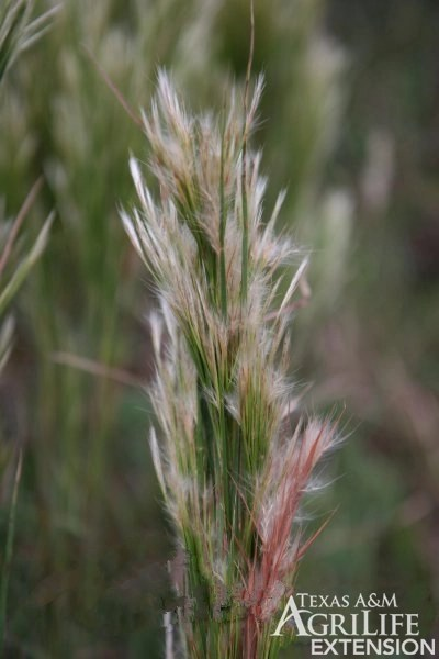 Plants Of Texas Rangelands 187 Broomsedge Bluestem