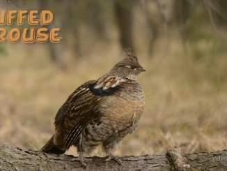 Ruffled Grouse