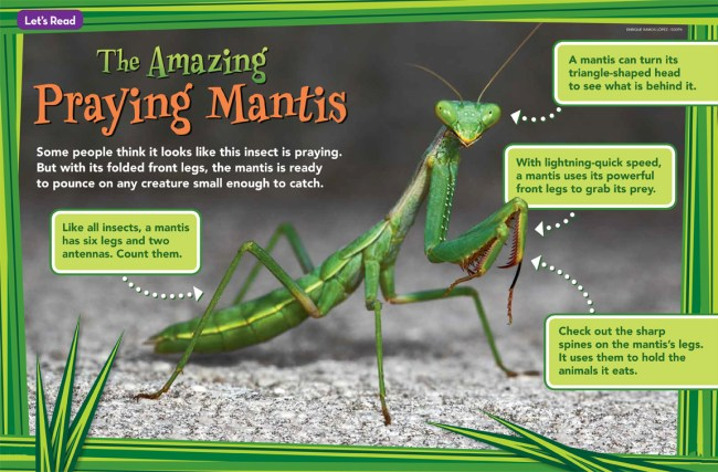 Praying Mantis Ranger Rick Jr August 2016 1