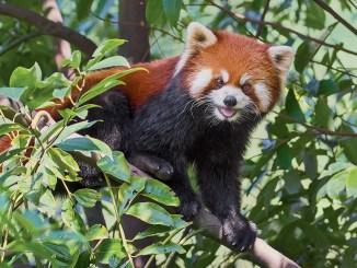 Red Panda Ranger Rick Jr February 2018