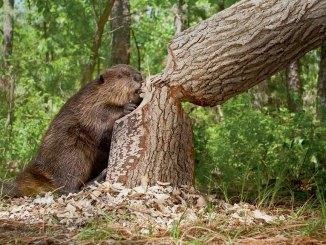 Beavers Ranger Rick Jr August 2017