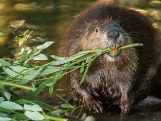 Leave it to Beavers by Suzi Eszterhas - May 2018 Ranger Rick