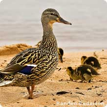 duck chicks
