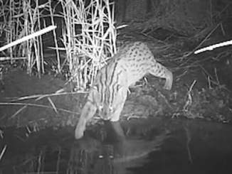 Fishing Cat RR Video