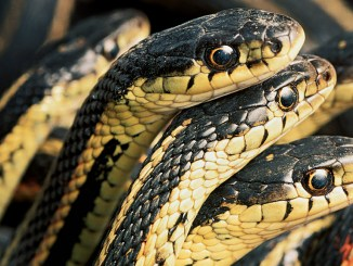 Ranger Rick Garter Snakes April 2015