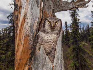 Hawk Owl by Michael Quinton