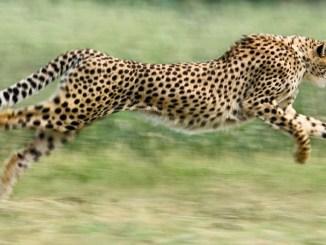 Ranger Rick Cheetah Tricks September 2015