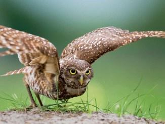 Ranger Rick Jr Burrowing Owls October 2014