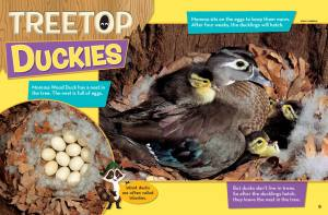 Ranger Rick Jr Treetop Duckies April 2014 2