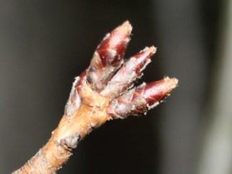 tree bud