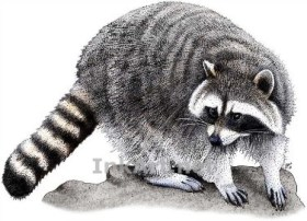 raccoon - May 2018 Parent Reading Guide