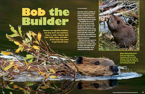 beaver spread 1