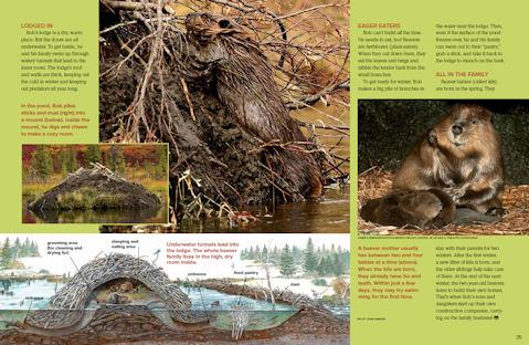 beaver spread 3