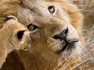 featured lion