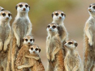 featured meerkats