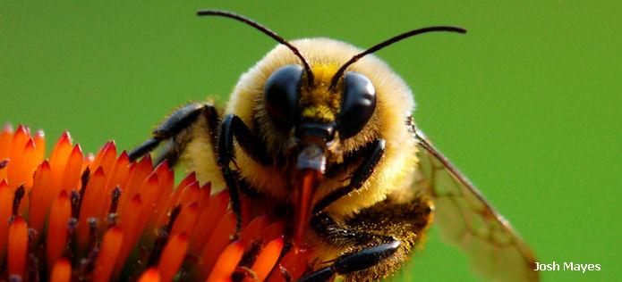 bee by josh mayes