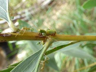 Green Weaver Ants Protecting Treehopper - Video