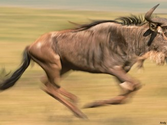 wildebeest andy rouse 1156x650