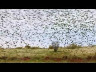 Swarming Budgies by Peter Carroll
