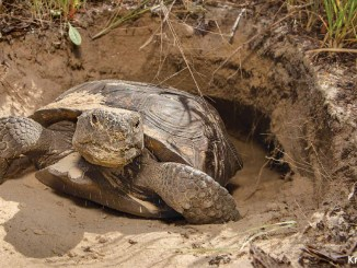 Gopher Tortoise by Krista Schlyer 1156x650