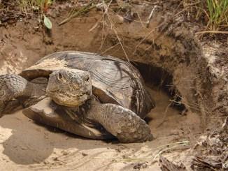 Gopher Tortoise by Krista Schlyer 1156x650