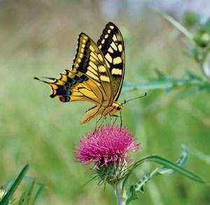 butterfly KATSUOMI MATSUMOTO Minden