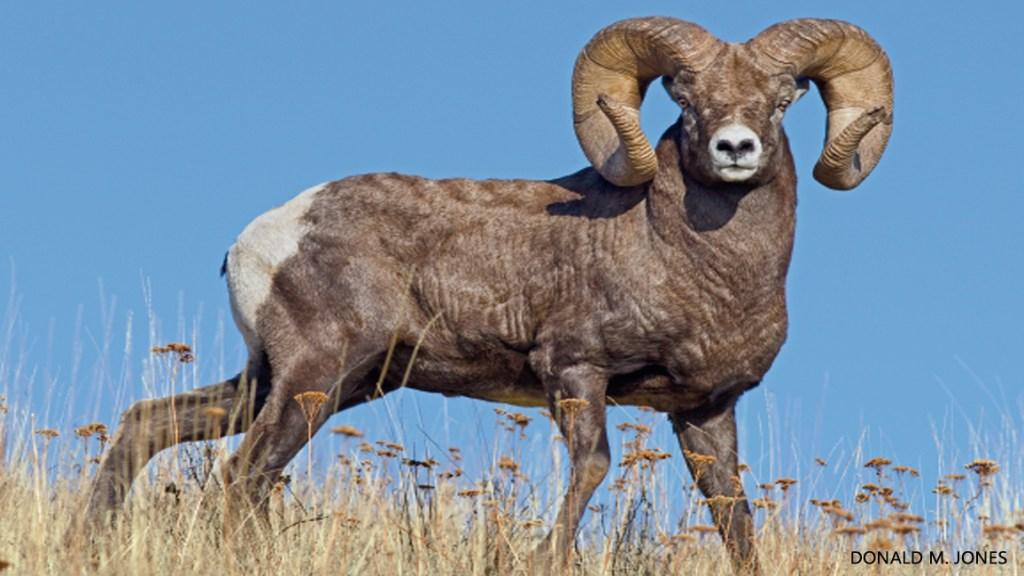 Horns vs. Antlers
