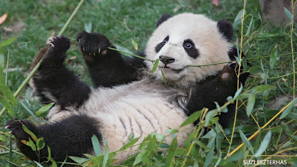 Roly-Poly Panda