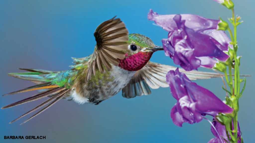 Nature's Helicopters: Hummingbirds