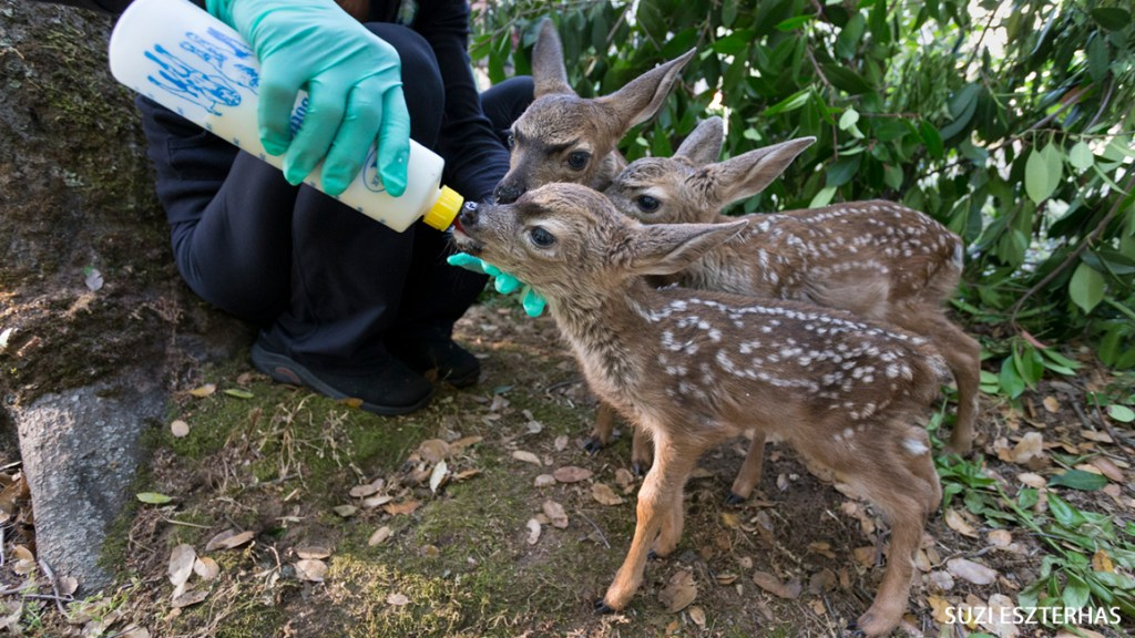 Saving Baby Deer