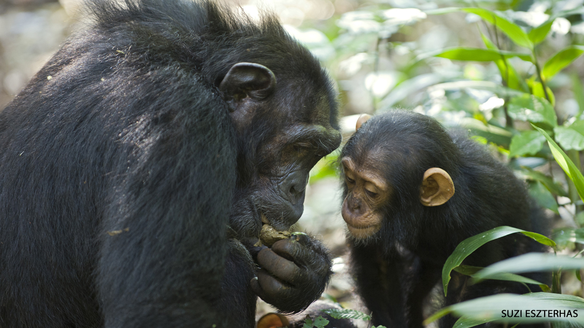 All Eyes on Chimps