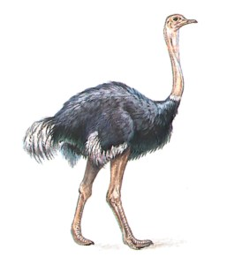 An African ostrich