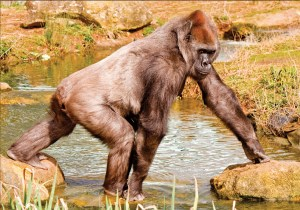 Gorilla walking on both hands and feet
