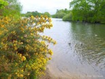 Epping Forest - Gorse in bloom by Hollow Pond