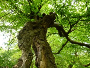 Trees don't have to be big to be a veteran! A small veteran tree in Epping Forest.