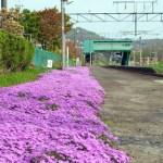 御崎駅の芝桜