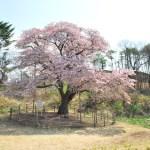 桜めぐり 2009(幌萌町の大桜)