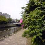 知利別川沿いの「ハマナス」