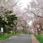 番外編 桜めぐり 2010(母恋富士下の桜並木)