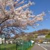 桜めぐり 2012 (崎守町 パークゴルフ場横)