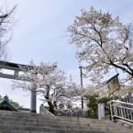 桜めぐり 2012 (室蘭八幡宮)